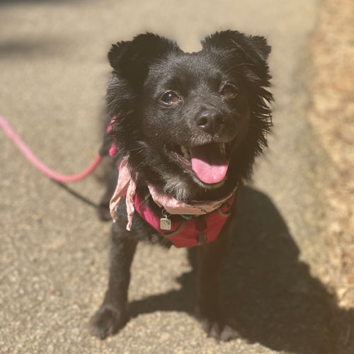 Photo of black dog on a pink leash
